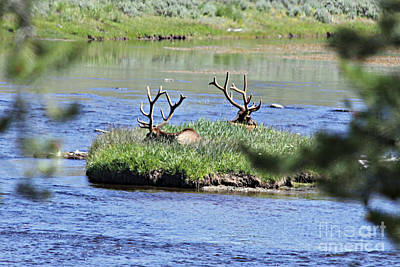 Photograph - Elk In Madison River by Shawn Naranjo