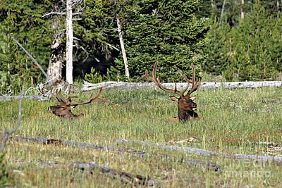 Photograph - Elk In Sun by Shawn Naranjo