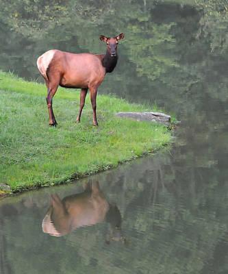 Photograph - Elk Reflection by Alan Lenk