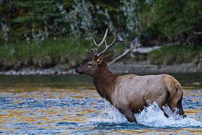 Elk Through Water Art Print by Maik Tondeur