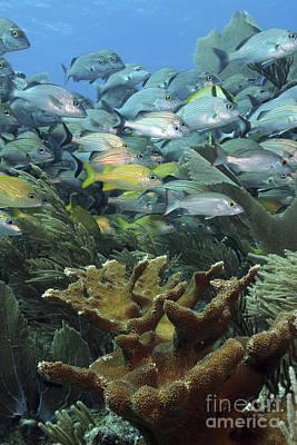 Ethereal - Elkhorn Coral With Schooling Grunts by Karen Doody