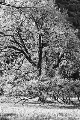 Photograph - Elm In Black And White by Rick Berk