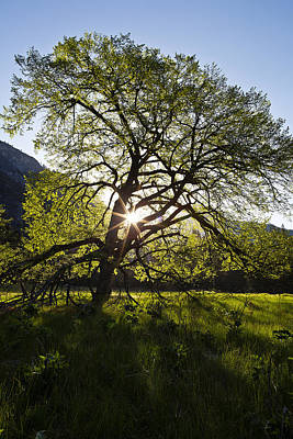 Elm Photograph - Elm In Cook's Meadow by Rick Berk