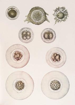 Embryonic Development Art Print