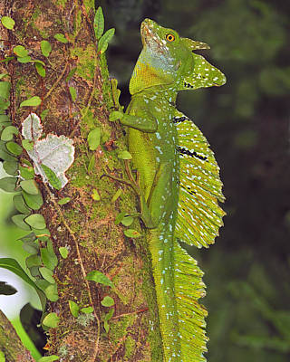 Photograph - Emerald Basilisk by Tony Beck