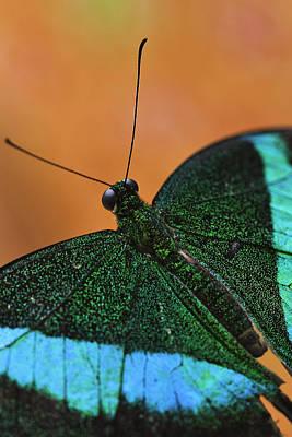 Photograph - Emerald Swallowtail by Perla Copernik