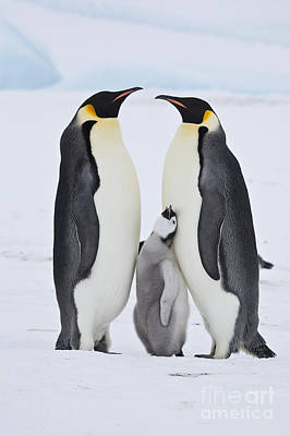 Photograph - Emperor Penguin Chick Begging For Food by Greg Dimijian