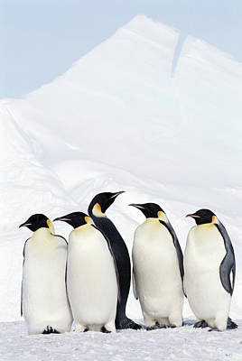 Emperor Penguins And Icebergs, Weddell Sea Art Print by Joseph Van Os