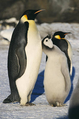 Parental Care Photograph - Emperor Penguins With Chick by Doug Allan