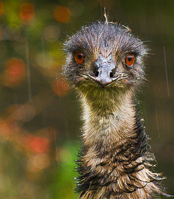 Photograph - Emu In The Rain by Jean Noren