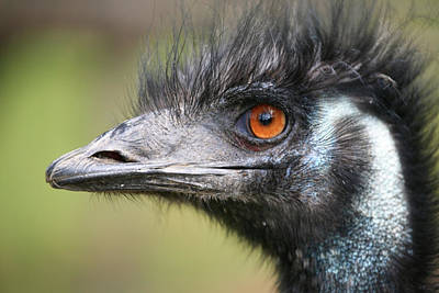 Ostrich Photograph - Emu by Karol Livote