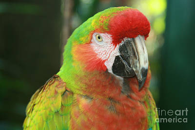Photograph - enchanteur d oiseaux - Beautiful Macaw by Sharon Mau