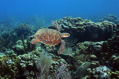 Green Sea Turtle Photograph - Endangerd Green Sea Turtle, Chelonia by George Grall