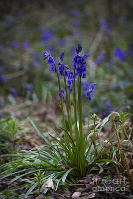 Photograph - English Bluebells. by Clare Bambers