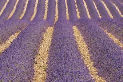 Y120817 Photograph - English Lavender Field, Valensole, Valensole Plateau, Alpes-de-haute-provence, Provence-alpes-cote D Azur, France by Martin Ruegner