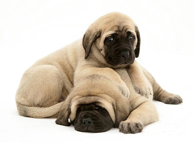 Mastiff Pup Photograph - English Mastiff Puppies by Jane Burton