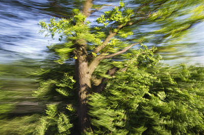 Photograph - English Oak Quercus Robur Blowing by Konrad Wothe