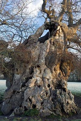 English Oak Tree (quercus Rober) At Dawn Art Print by Bob Gibbons
