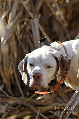 Photograph - English Pointer On Point - D004001 by Daniel Dempster
