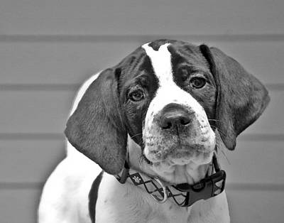 English Pointer Puppy Black And White Art Print