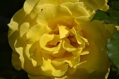 English Rose - Yellow Art Print by Dickon Thompson