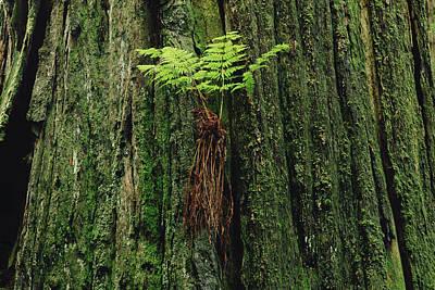 Epiphytic Fern Growing On Redwood Art Print by Gerry Ellis