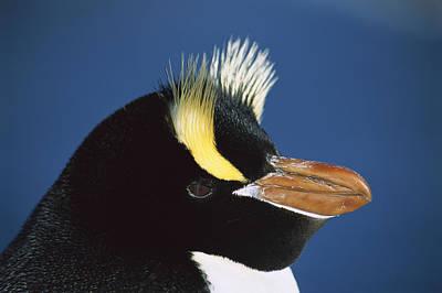 Photograph - Erect-crested Penguin Eudyptes Sciateri by Tui De Roy