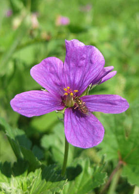 Fleetwood Mac - Erodium Texanum and a Bee by Cindy Clements