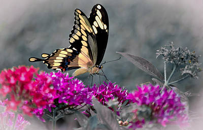 Blue Swallowtail Photograph - Essence Of Nectar by DigiArt Diaries by Vicky B Fuller