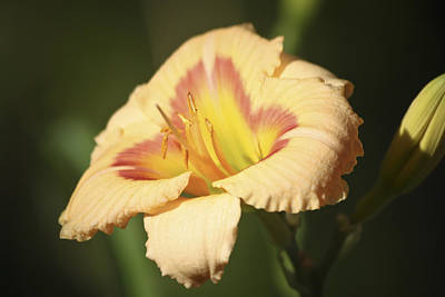 Flower Photograph - Ethel Brown Daylily 4 by Teresa Mucha