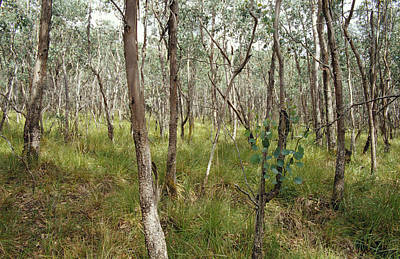 Eucalyptus Camphora Trees And Hookers Print by Jason Edwards