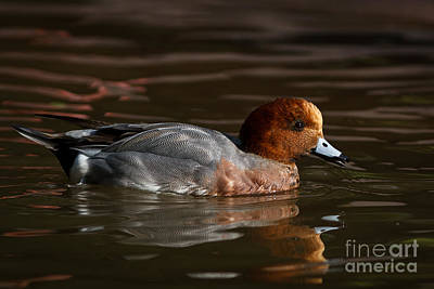 Penelope Wall Art - Photograph - Eurasian Widgeon - Male by Carl Jackson