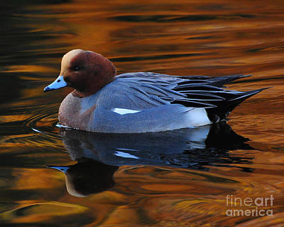 Photograph - Eurasian Wigeon by Jack Moskovita