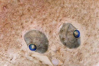 Photograph - European Flounder Platichthys Flesus by Ingo Arndt