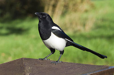 Magpies Photograph - European Magpie by Georgette Douwma