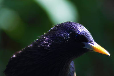 Photograph - European Starling by Scott Hovind