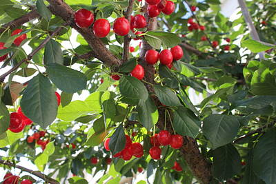 Photograph - Evans Cherries 2 by Donna L Munro