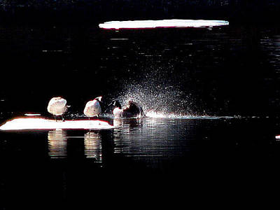 Photograph - Evening Duck Bath by Marie Jamieson