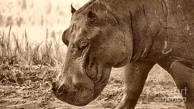 Photograph - Evening Hippo Walk by Mareko Marciniak