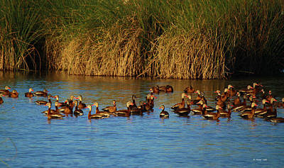 Photograph - Evening Light On Black Bellied Whistling Ducks by Roena King