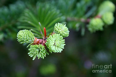 Art Print featuring the photograph Evergreen by Adrian LaRoque