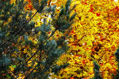 Photograph - Evergreen And Maple by Scott Hovind
