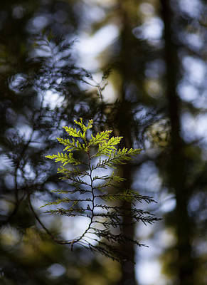 Photograph - Evergreen Light by Mike Reid