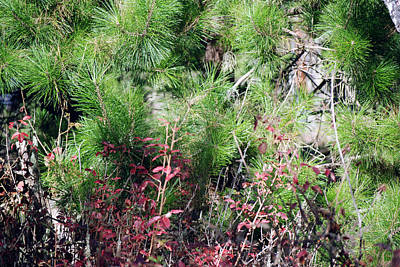 Photograph - Evergreen With Shrubs by Harvey Barrison