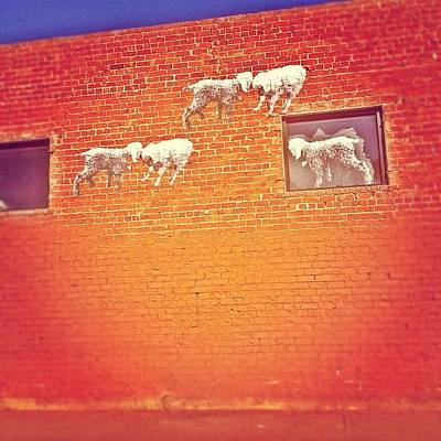 Sheep Photograph - Everyone Follow The Leader Like Good by CactusPete AZ