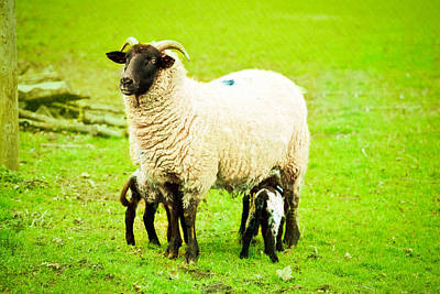 Caring Mother Photograph - Ewe And Lambs by Tom Gowanlock