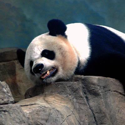 Animal Watercolors Juan Bosco - Exhausted Panda by LeeAnn McLaneGoetz McLaneGoetzStudioLLCcom