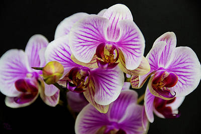 Exotic Orchids Art Print by Angelina Vick