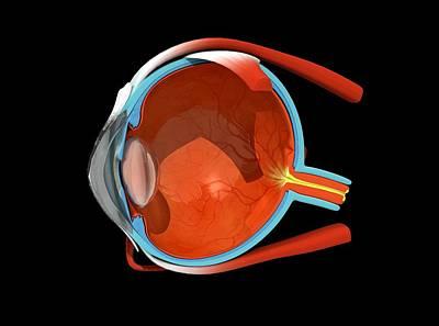 Eye Anatomy Art Print by Jose Antonio PeÑas