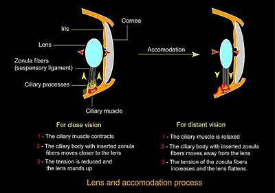 Eye Lens And Accommodation, Diagram Art Print